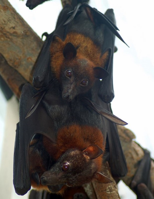 Bat Babies birth in Terra Natura Parc, Benidorm
