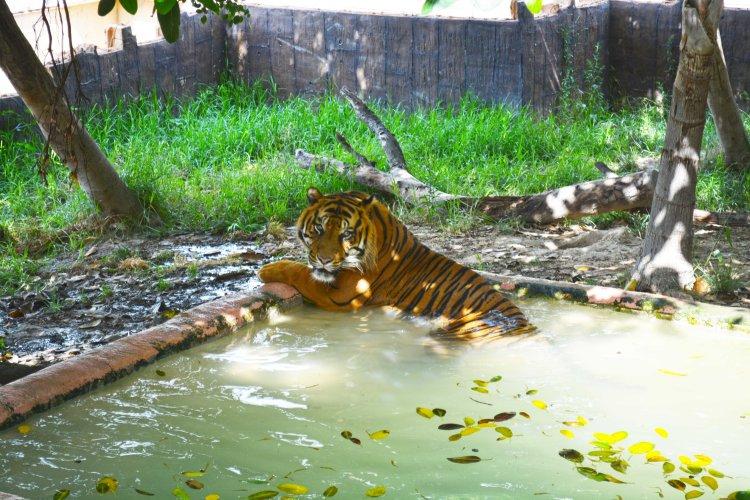 tigre en el agua.jpg