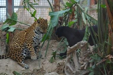 jaguares Terra Natura Benidorm 2