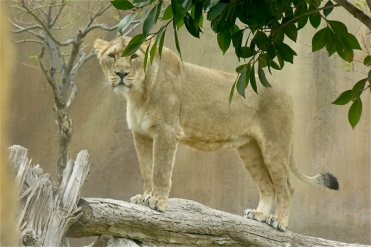 Asia leona asiatica Jasdon abr08