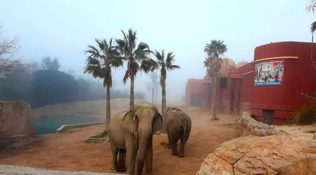 Dos elefantes que se encuentran en el Parque Terra Natura Zoo en Benidorm, uno está de frente mirando a la cámara y el otro de espaldas. Hay niebla, pero se ve un espacio con alguna palmera, y un edificio rojo sobre un suelo con tierra.