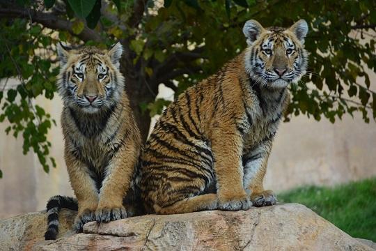 Dos tigres de color marrón anaranjado, con algunas zonas blancas, y con rayas negras por todo el cuerpo. Se encuentran sentados en una roca, en el parque Terra Natura Benidorm.